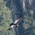 Condor Sightings Cusco & Chonta Valley