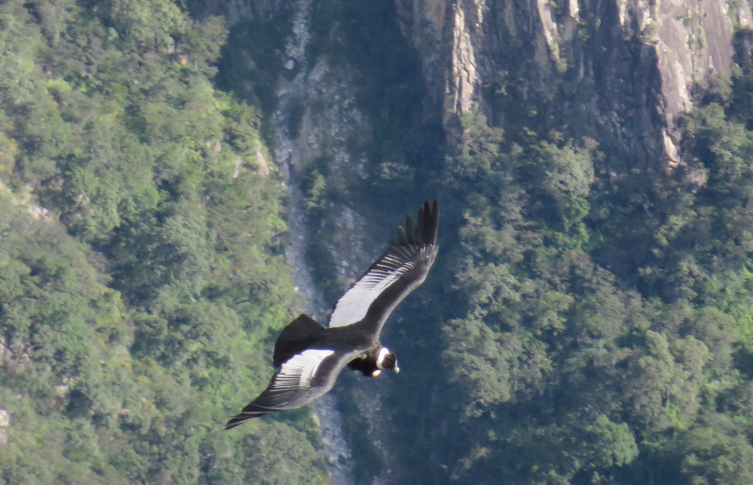 Condor Sighting Cusco & Chonta full day